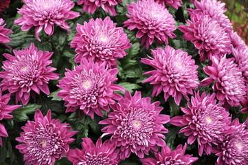 Carpet of pink Chrysantemum flowers