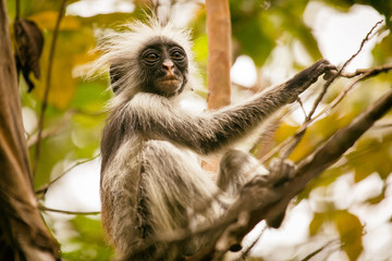 Wild Red Colobus monkey sitting on the branch in tropical Jozani