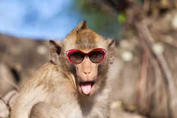 Funny rhesus monkey with tongue sticking out and sunglasses