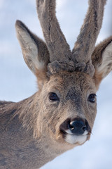 Close-up of Roe deer (Capreolus capreolus)
