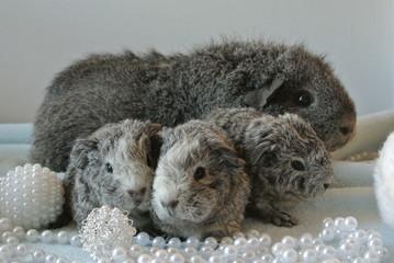 maman cochon d' inde rex agouti argentée et ses petits