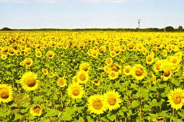Field of sunflowers near Burgos