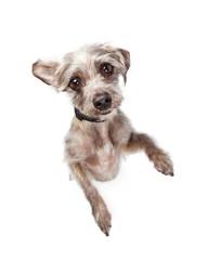 Cute Little Dog Begging-Overhead View