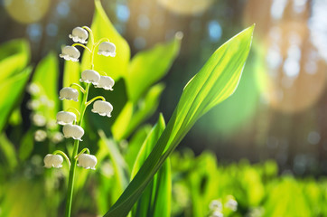 Blooming lilies of the valley in the sunlight