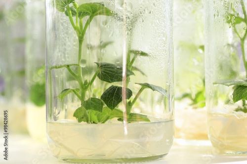 Chayote in plant tissue culture at the laboratory