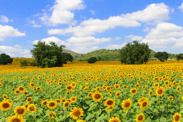 Field of blooming sunflowers near Khao Yai National Park in Thailand.