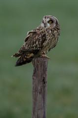 Short eared owl on a pole