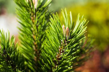 Defocused fir tree branch