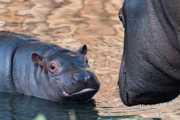baby and big mother hippo portrait