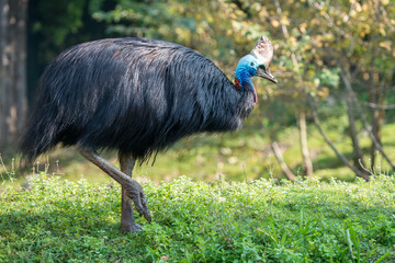 cassowary giant bird portrait close up