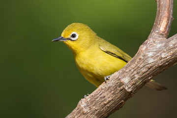 African yellow white-eye (Zosterops senegalensis) perched on a b