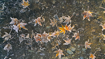 frozen colorful fallen leaves under first snow on asphalt path in autumn