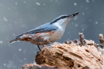 Eurasian nuthatch with sunflower seed