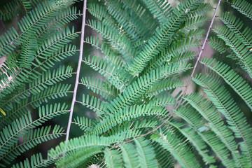 tamarind leaf background.