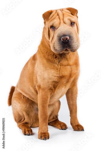 Shar Pei Hund Rassehund braun beige sitzt auf dem Boden und guckt ...