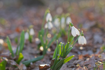 spring of the first snowdrops