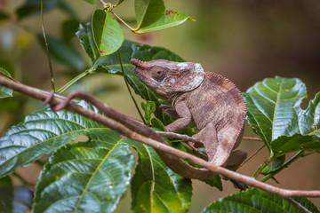 Nosy chameleon