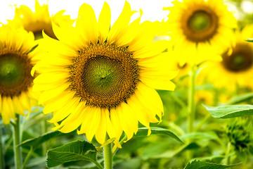 Beautiful sunflower in the garden.