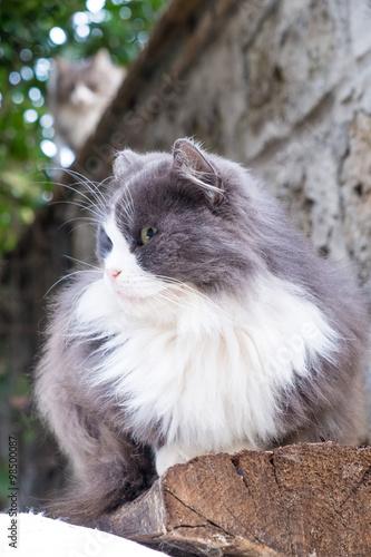 Gatto grigio con macchia bianca a pelo lungo accovacciato for Ambiente rustico