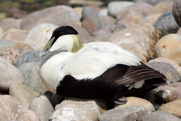 Eider duck (Somateria mollissima). A black and white coastal duck sitting amongst stones