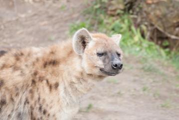 Foto op Aluminium Hyena Zootiere