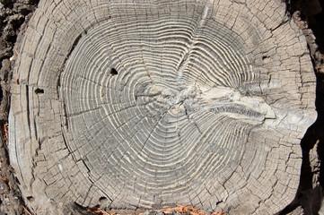 Wood round texture. Cracked juniper. Pine wood background.