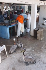 Birds waiting for fish at an outdoor fresh fish market on the Malecon, Puerto Vallarta, Mexico while fishermen cut and clean fish
