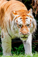 Close up of an older male Bengal tiger with a light colored coat.