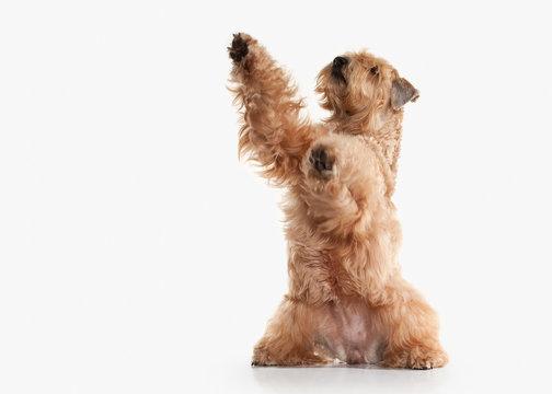 Dog. Irish soft coated wheaten terrier