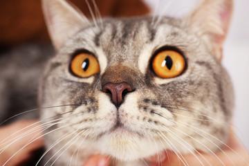 Portrait of grey cat, close up
