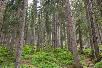 Papiers peints Forets Firs forest