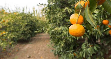 Tangerine Orchard Citrus Fruit Food Agriculture Ripe Harvest