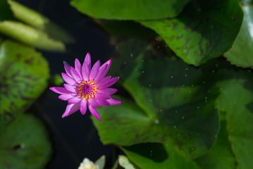 Beautiful lotus in clay pot