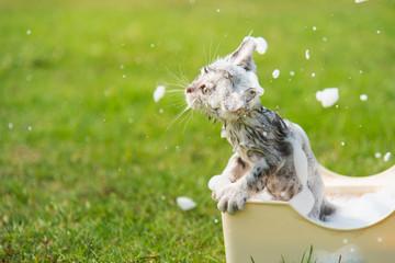 Cute tabby taking a bath