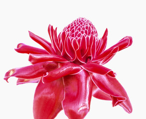 closeup torch ginger flower, etlingera elatior on white backgrou