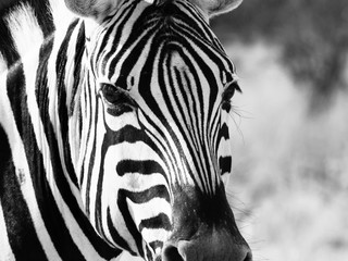 Close up head of zebra