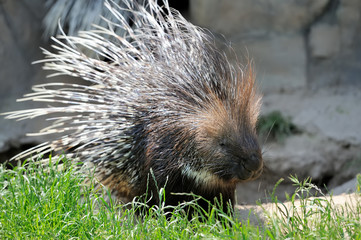 Porcupine on grass
