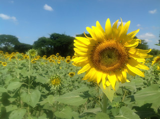 Sunflower blooming and sky at afternoon photo.