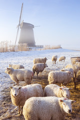 Fototapete - Sheep in front of Dutch windmill on a winter's morning