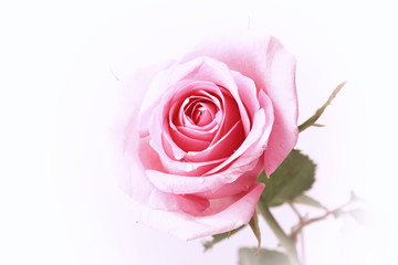 pink rose on a white background in retro style