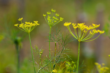 flowers of dill (selective focus used)