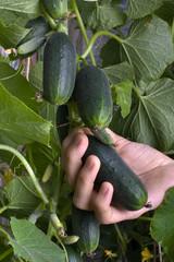 hand picking cucumber in the vegetable garden