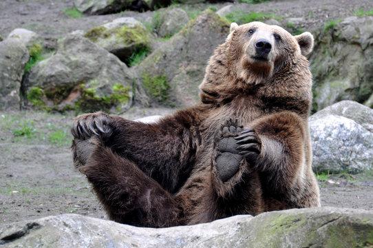 Braunbär beim Yoga