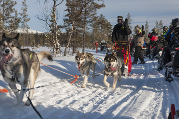 Dogsledding in snow