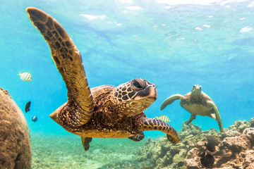 Wall Mural - Endangered Hawaiian Green Sea Turtle cruising in the warm waters of the Pacific Ocean in Hawaii