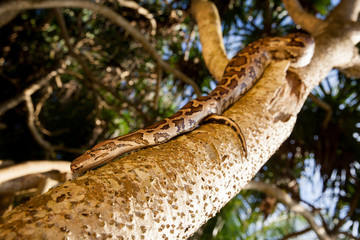 Python Snake wrapped around a branch
