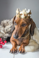 Dachshund red dress magician king