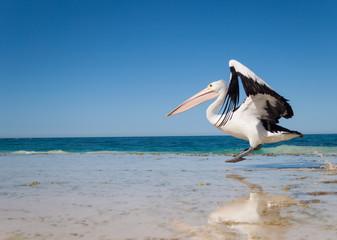 Australia, Yanchep Lagoon, 04/18/2013, Australian pelican taking off in flight from an australian beach