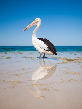 Australia, Yanchep Lagoon, 04/18/2013, Australian pelican standing tall on an australian beach