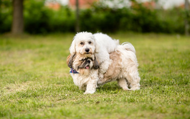 Shih tzu and Coton de Tulear best dog friends
